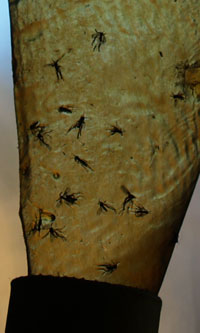 Fungus Gnats on Fly Paper
