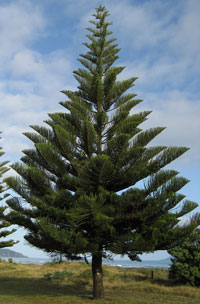 Norfolk Island Pine in Native Habitat. Photo by Kahuroa
